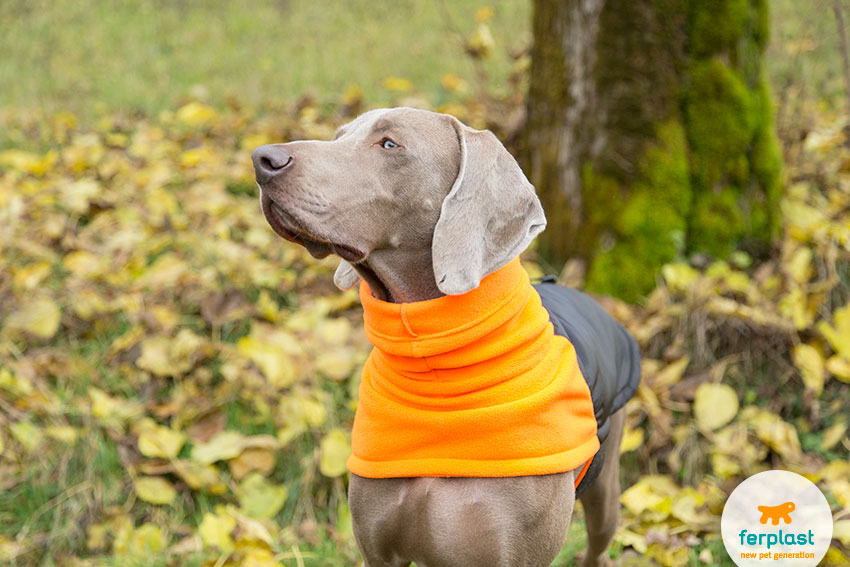 weimaraner breed traits and info