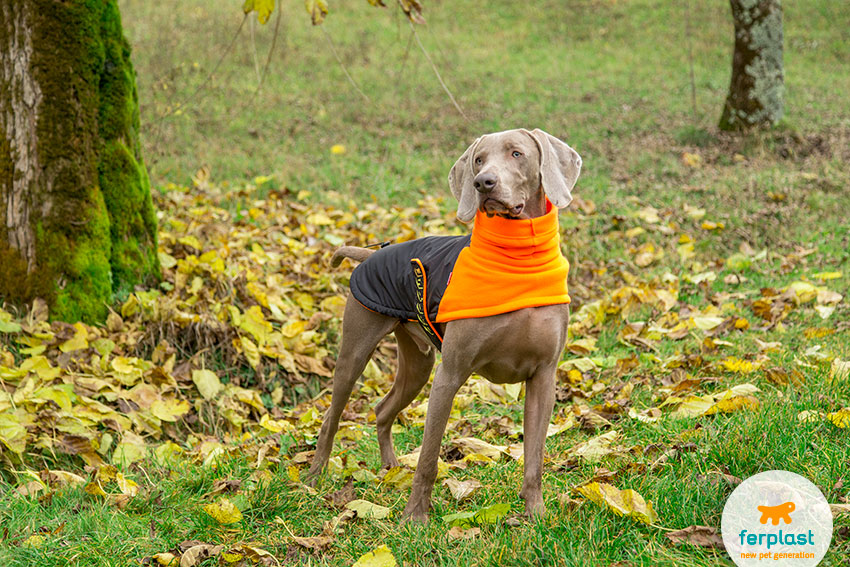 beautiful weimaraner dog wearing a black and orange coat