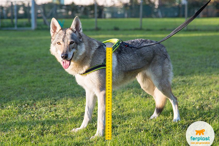 come misurare l'altezza al garrese del cane