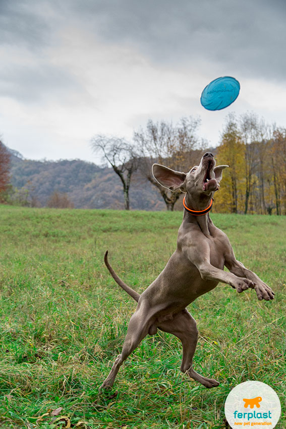 beautiful weimaraner dog that catches a frisbee