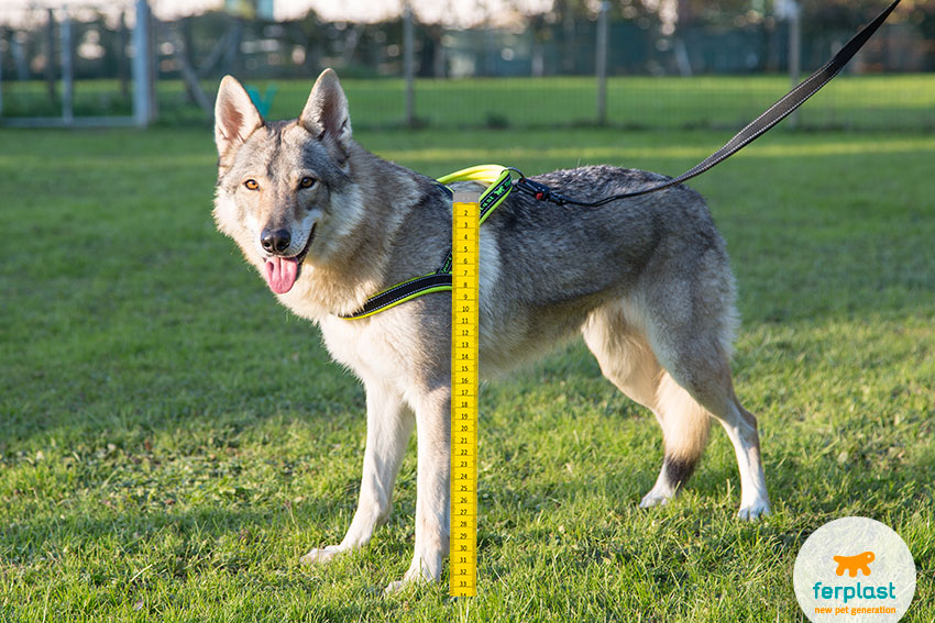 how to measure the withers height according to the dog breed