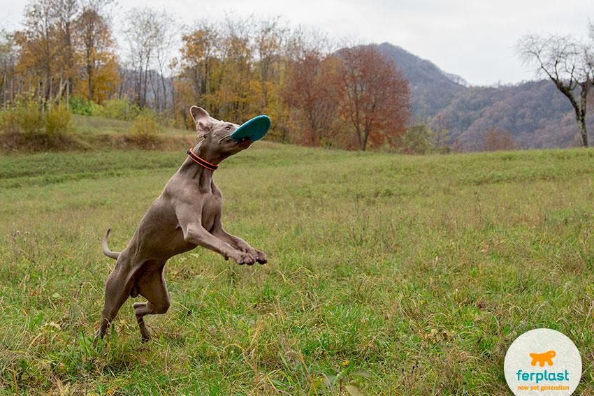 weimaraner dog that catches a frisbee