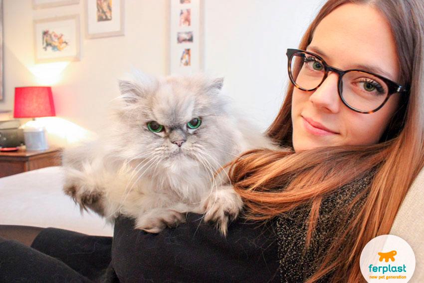 gatto persiano cincillà che si fa coccolare