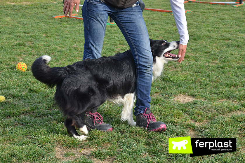 ensinar o cão a fazer slalom entre as pernas