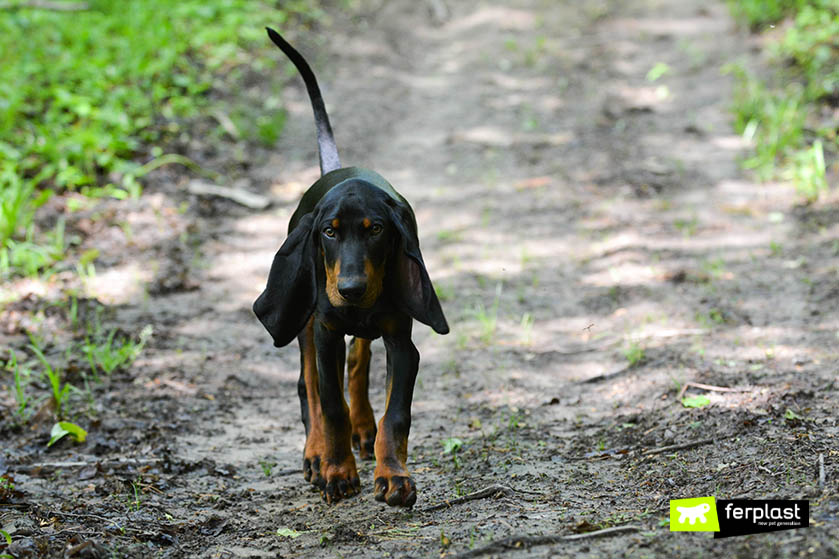 Black_and_Tan_Coonhound_cane_carattere