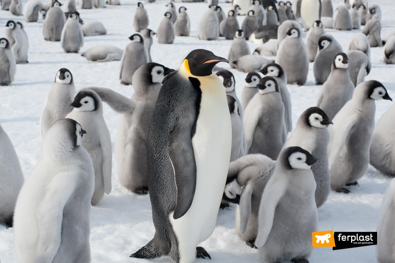 Pinguino Imperatore tra i papà migliori in natura