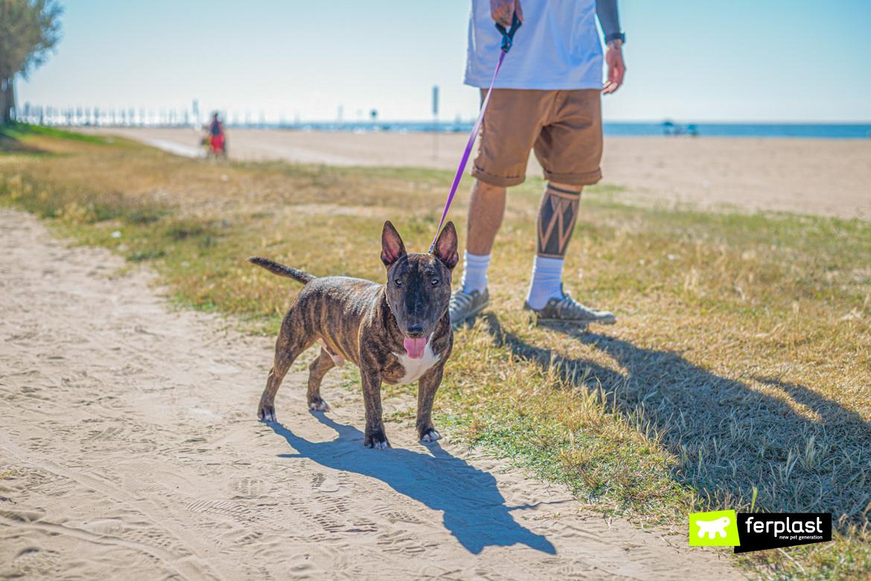Bull Terrier Miniature a passeggio con il padrone e collare e guinzaglio Ferplast