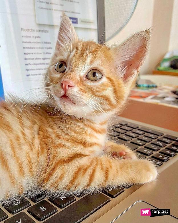 Gatto arancione cucciolo sopra al computer