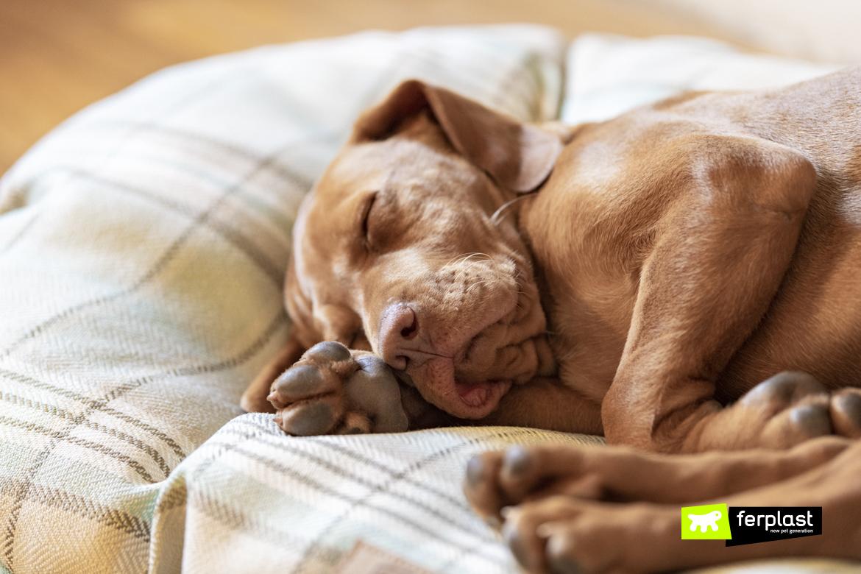 Frida, cucciolo di bracco, dorme su cuccia Harris di Ferplast