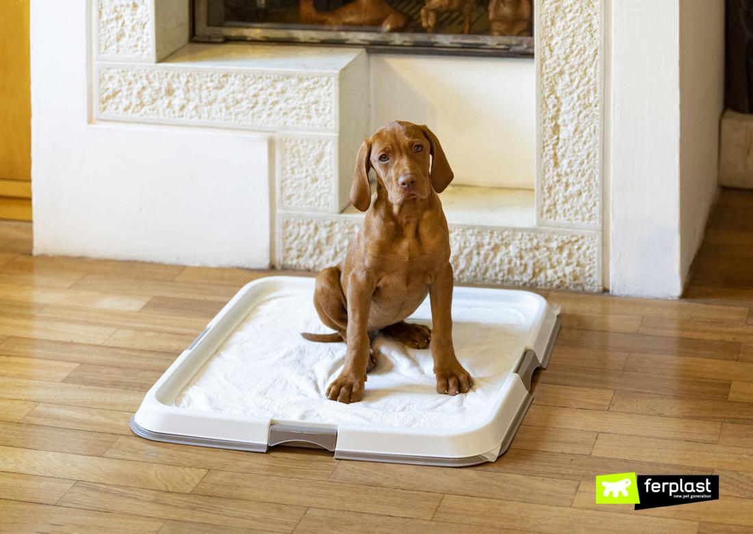 Frida-cachorrinho-poodle-em-Hygienic-Pad-Tray-da-Ferplast