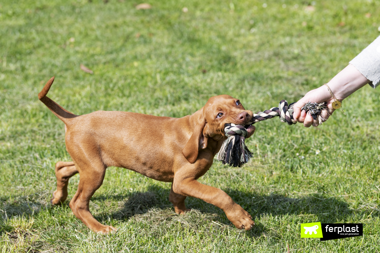 Cucciolo di bracco gioca con gioco Ferplast