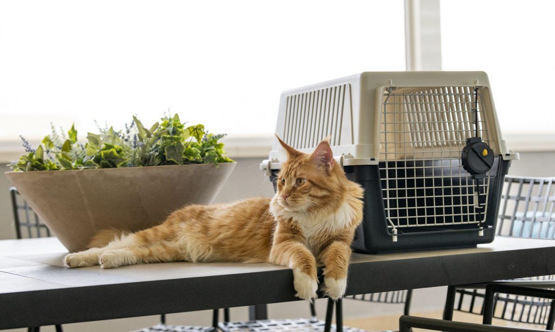 убедить кошку войти в домашний ферпласт