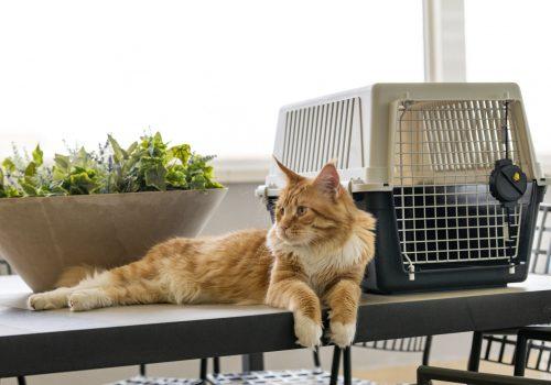 Gato ao lado do porta-animais Ferplast