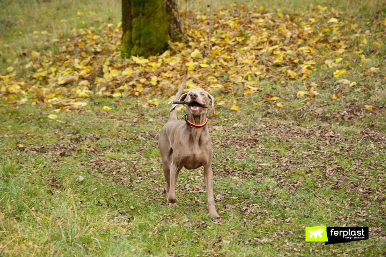 Bracco, razza di cane da tartufo