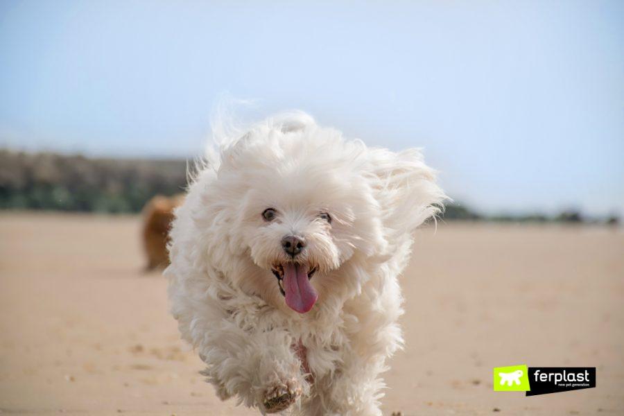 Cane bianco corre sulla spiaggia in estate
