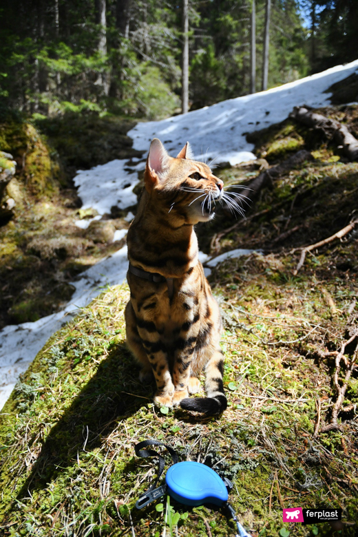 Alex, gatto del Bengale con guinzaglio Flippy One
