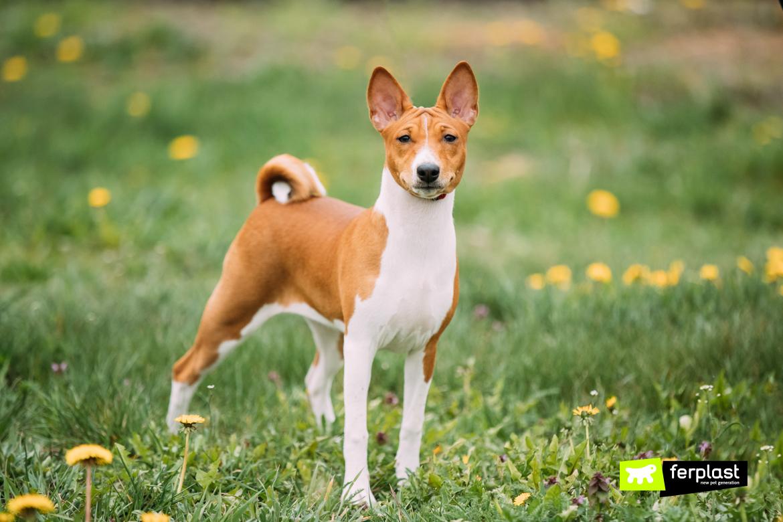 Basenji, razza di cane che sopporta il caldo