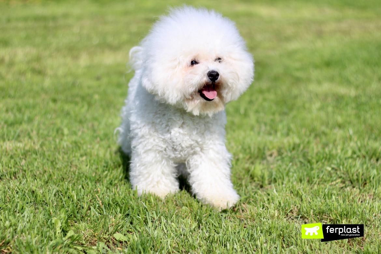 Bichon, razza di cane che sopporta il caldo
