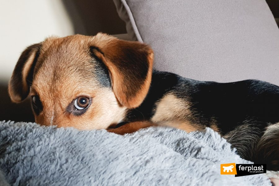 Cane si nasconde sotto le coperte