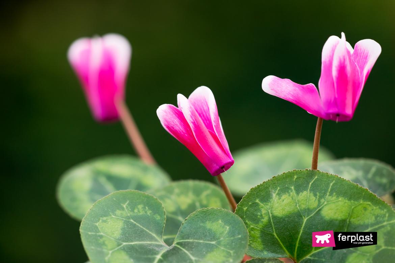 цикламены ядовитые цветы для кошек