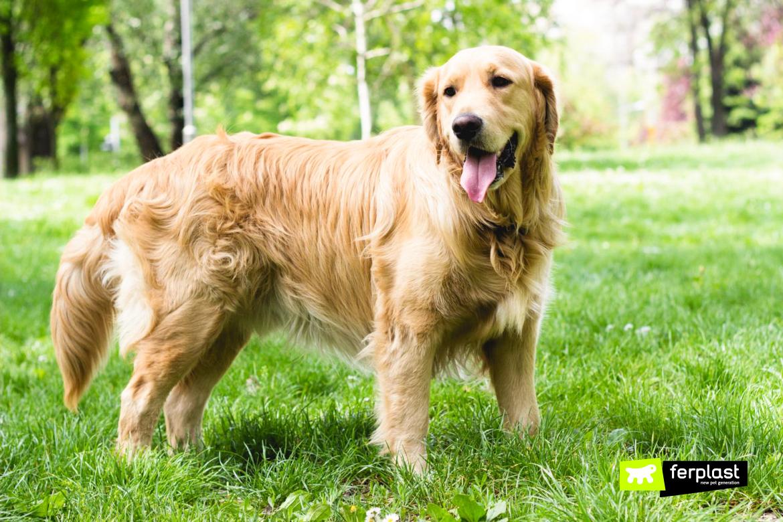 Golden Retriever, razza di cane che sopporta il caldo