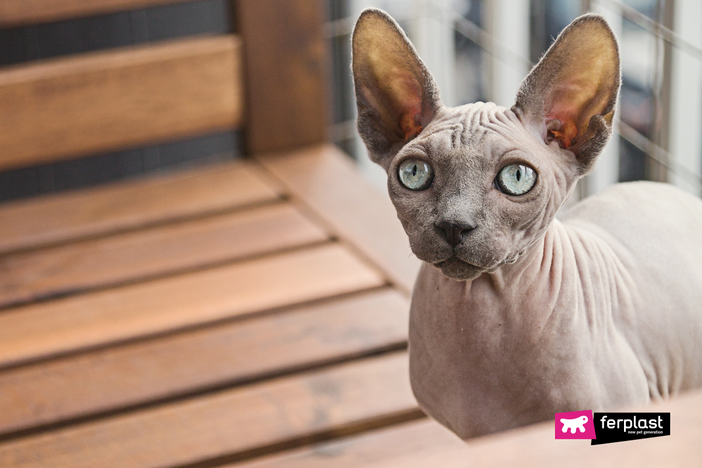 Primo piano gatto senza pelo