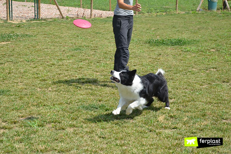 Border Collie gioca a frisbee con la padrona