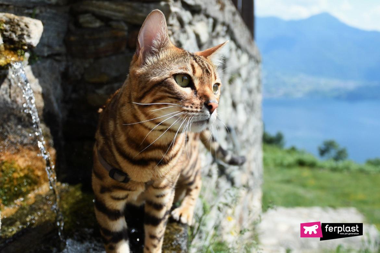 Alex, gatto del Bengala, Ferplast Ambassador