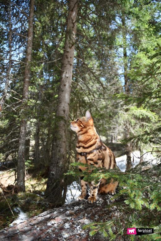 Alex, gatto del Bengala con guinzaglio per gatti Flippy One di Ferplast