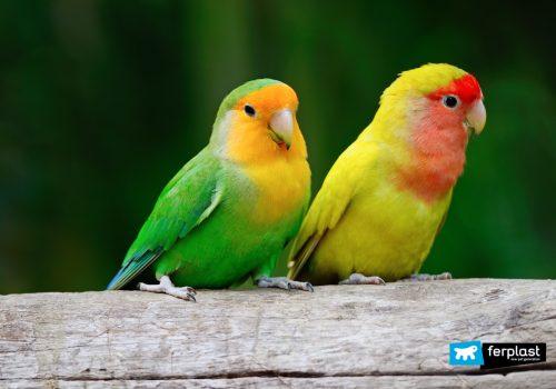Pappagalli inseparabili insieme su un albero