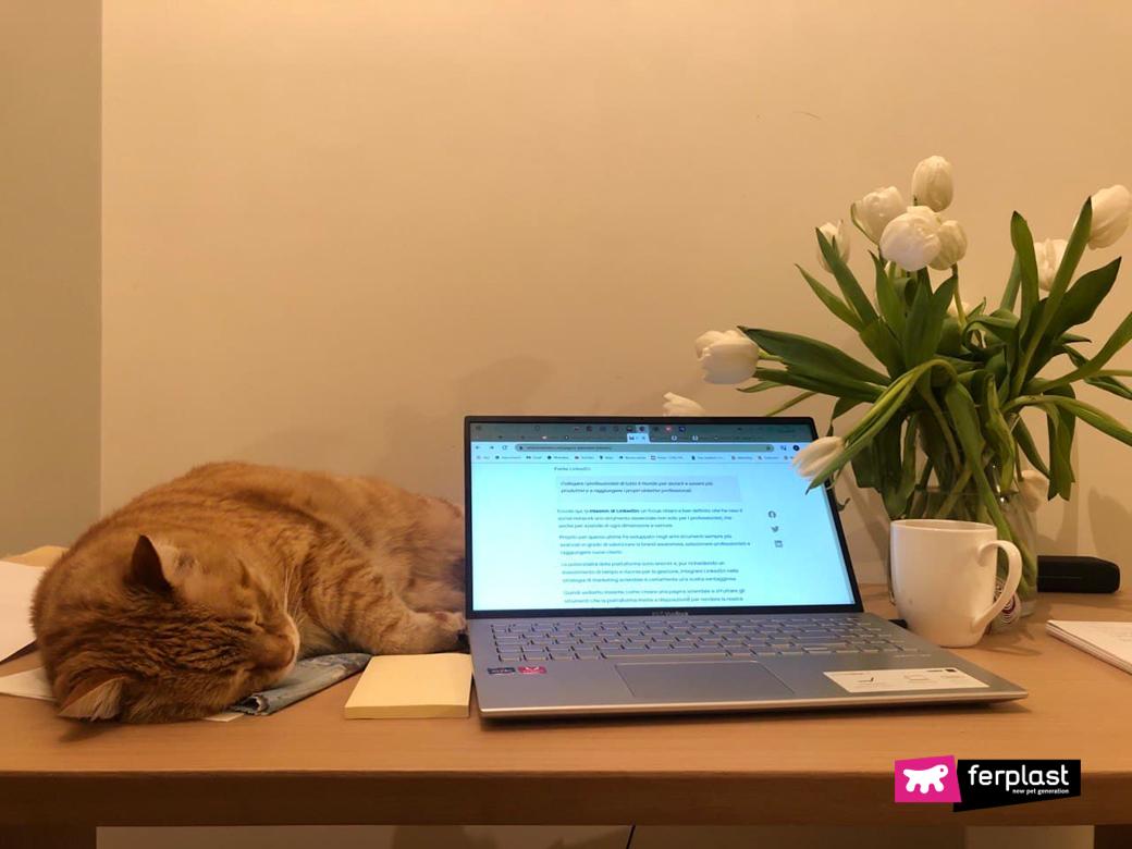 Gatto stressato dorme accanto al computer