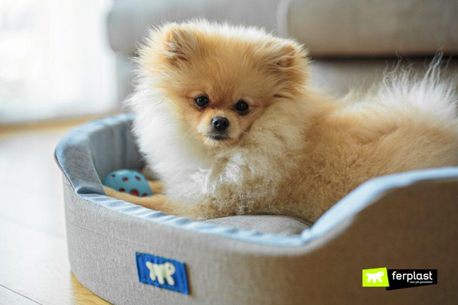 Lulu da Pomeraniana: a raça