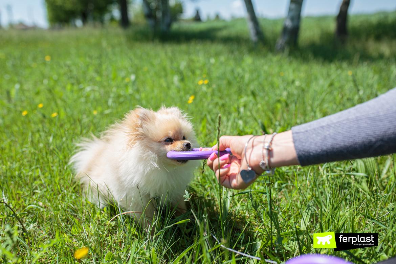 Pomeranian-Fox-brinca-com-Puller-mini-da-Ferplast