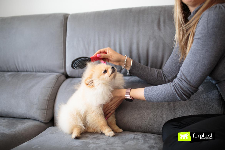 Pomeranian-Fox-é-escovado-por-sua-amante-com-escovas-Ferplast