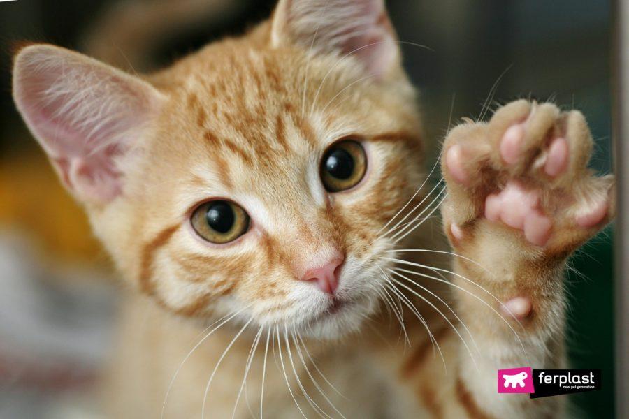Gatto mostra la zampa