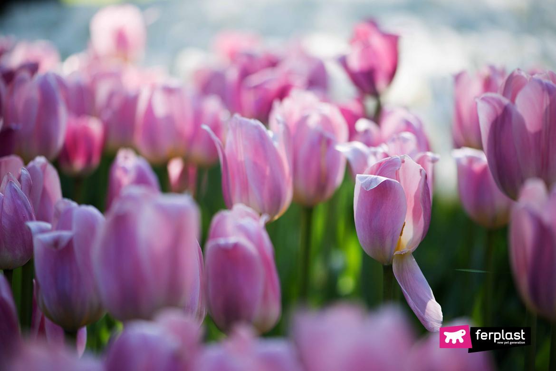 тюльпанов цикламены ядовитые цветы для кошек