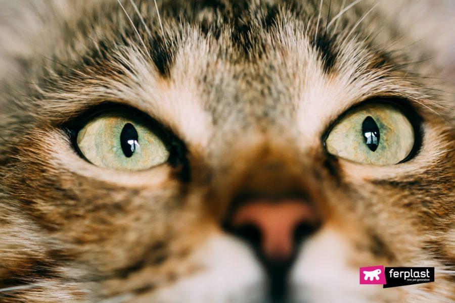 Primo piano occhi di un gatto