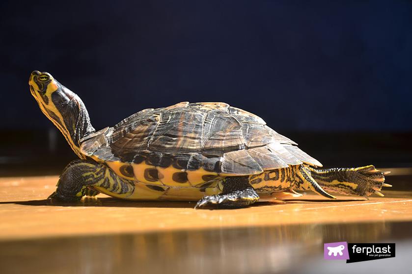 tartaruga_orecchie_gialle