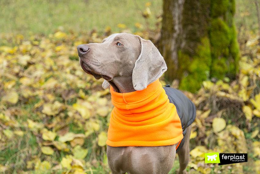 weimaraner-cane-caccia-grigio-argentato-caratteristiche-carattere copia