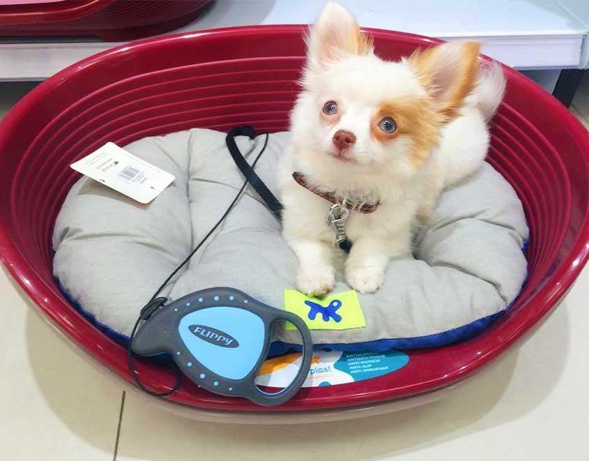 chihuahua-cão-ferplast-pet-lover-inverno-siesta-relax