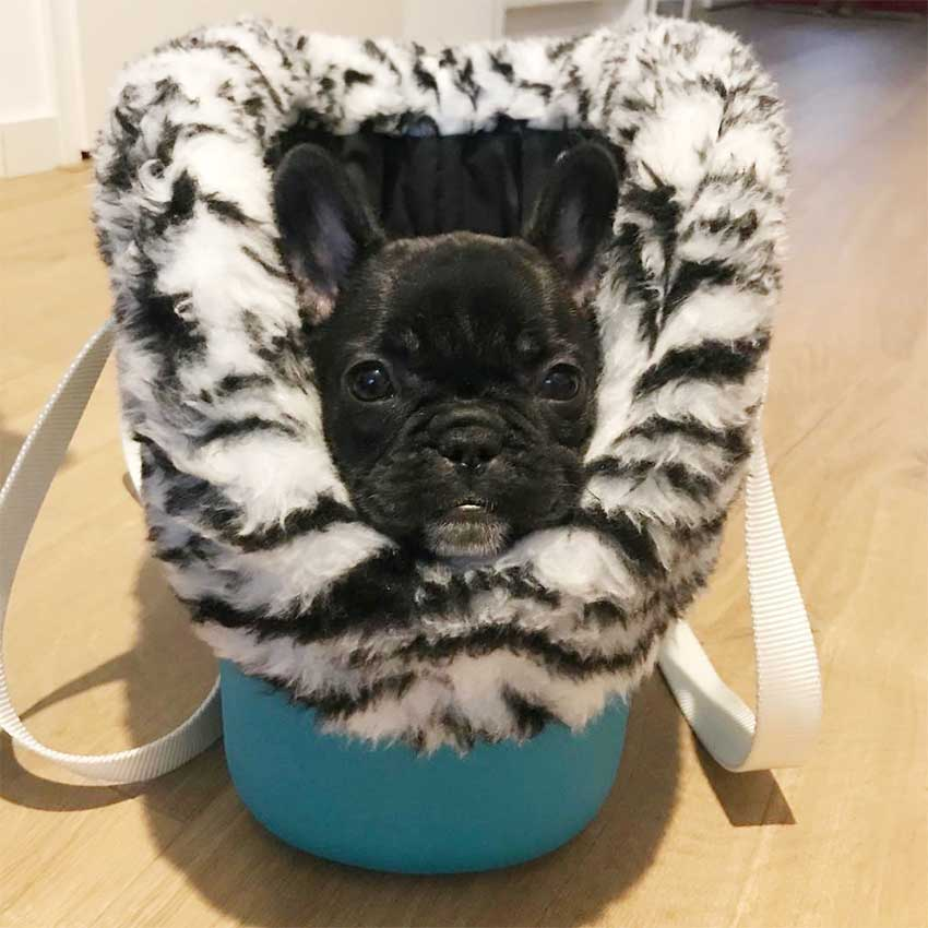 french-bulldog-bolsa-with-me-cão