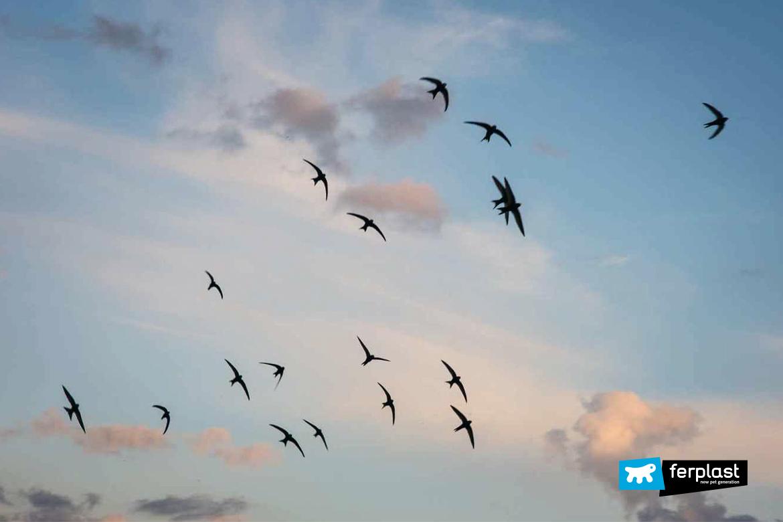 curiosità-uccelli-migratoti-ferplast