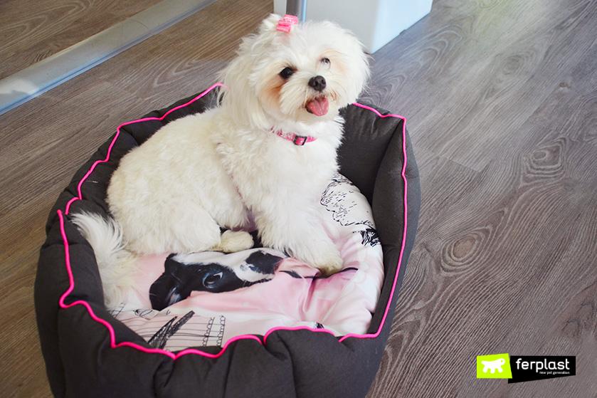 raça-maltese-ferplast-dog-cão-trabalhar-anti-stress