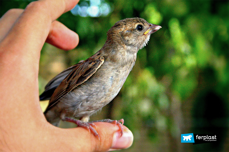 помощь птенца падший гнездо