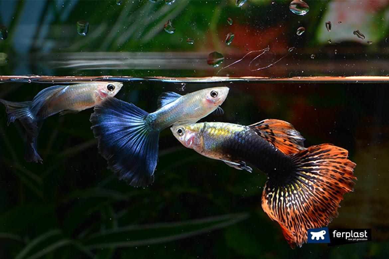 Perch i pesci dell 39 acquario si inseguono for Pesci per acquario piccolo