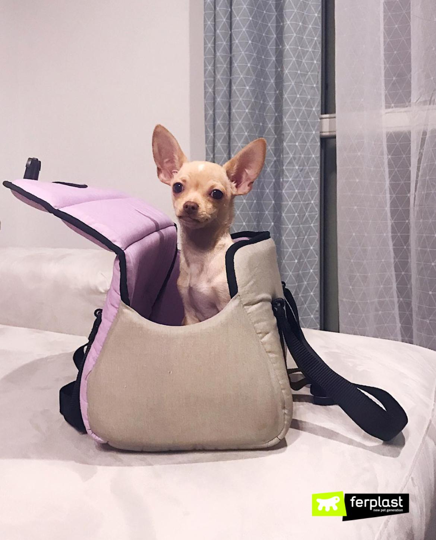щенок чихуахуа песик Арес