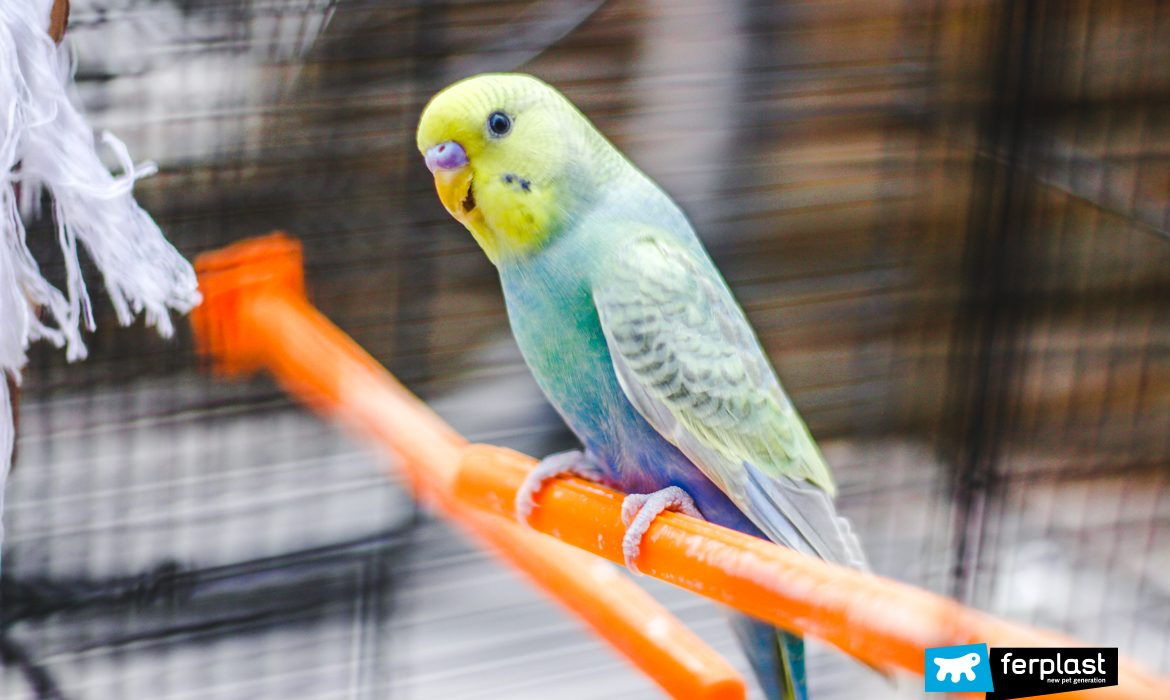 PARAKEETS: THEIR COLOURS AND TYPES