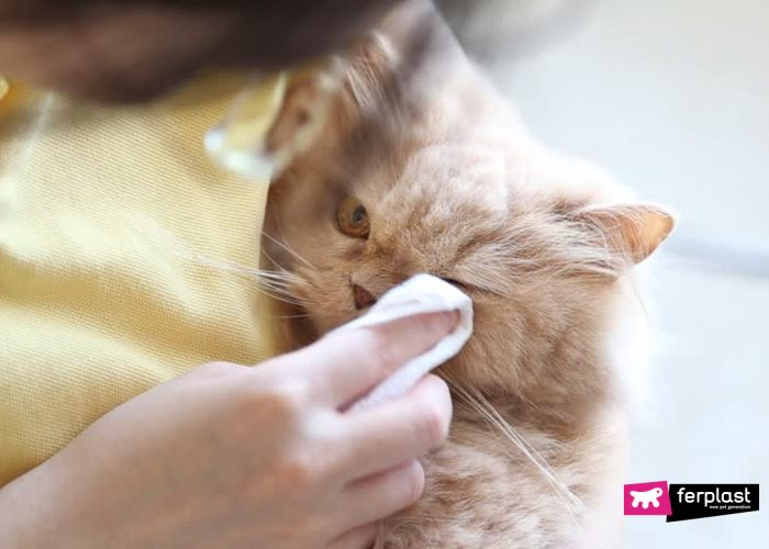 HOW TO CLEAN A CAT'S EYES IN A FEW QUICK MOVES