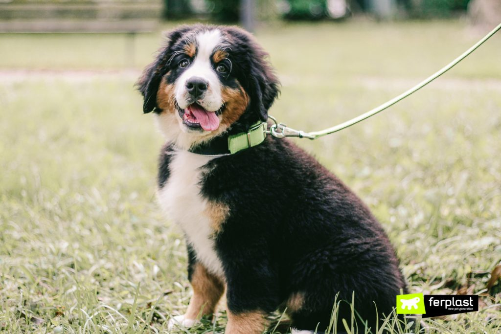 Bernese Mountain Dog Characteristics And Advice