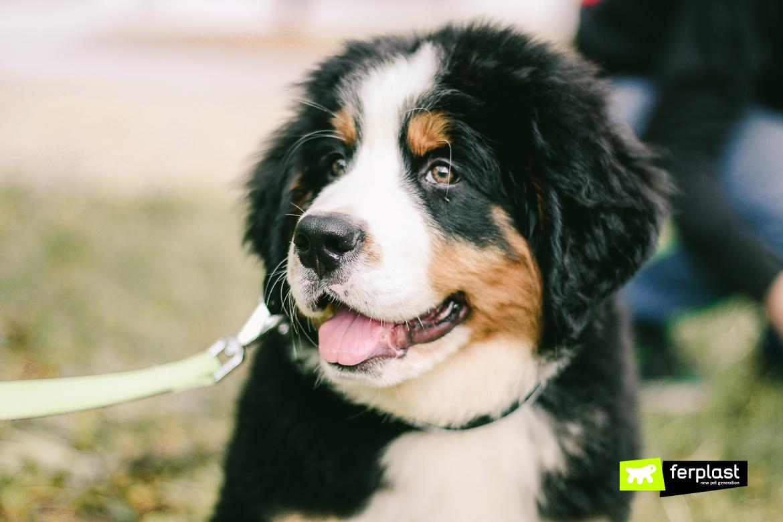 Bernese Mountain Dog, Characteristics and Advice